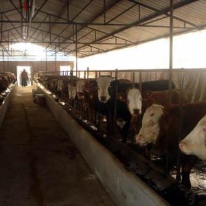 肉牛养殖肉牛养殖效益肉牛品种