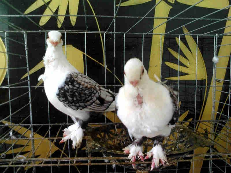 山东/山东观赏鸽品种介绍山东观赏鸽养殖纯种观赏鸽元宝鸽金鱼鸽