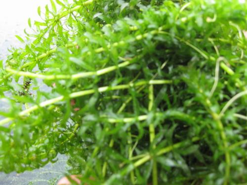 黑藻是藻类植物吗 论文