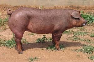 山东长白大白杜洛克种公猪,潍坊视频求生荒地图片