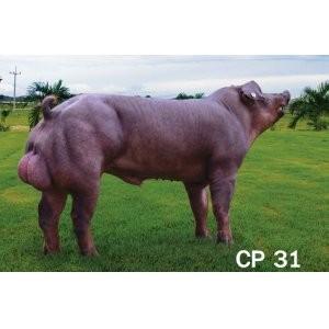 潍坊长白大白杜洛克种素材,山东视频公猪红歌图片
