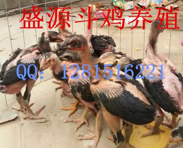 小斗母鸡分辨是还是公鸡鸡苗钱一只兰溪斗牛士图片