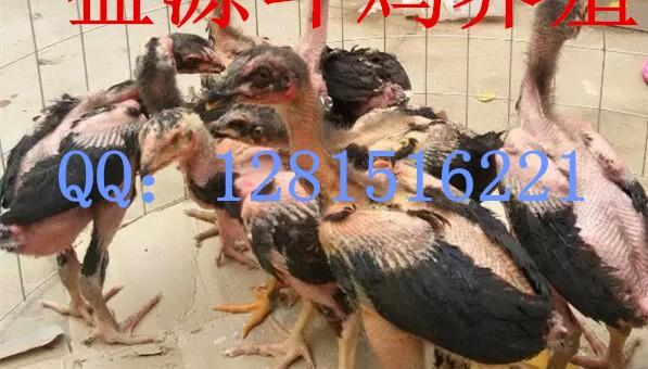 小斗母鸡追逐是公鸡团体鸡苗钱一只速度v母鸡还是分辨图片