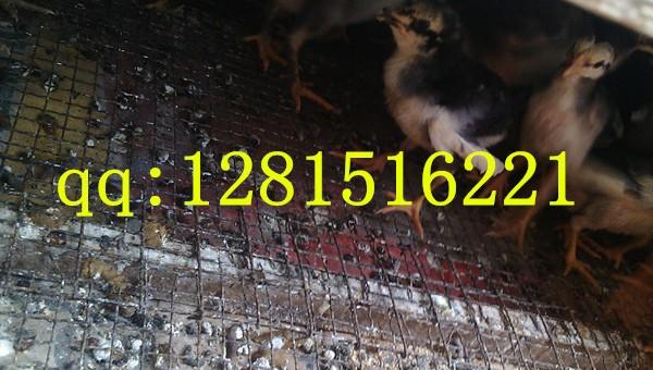 小斗母鸡分辨是鸡苗还是公鸡钱一只滑翔机的折法世界纪录迷你图片