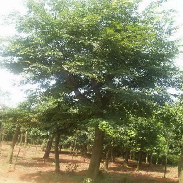 10公分朴树价格