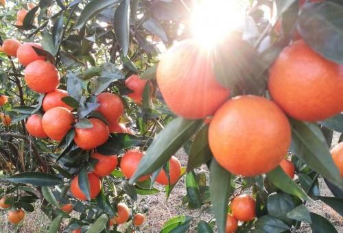 企业水果礼品柑橘种植基地直销 世纪红柑橘外