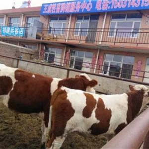 辽宁肉牛养殖品种牲畜市场天天市集