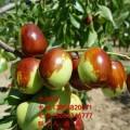 矮化冬棗樹苗 矮化冬棗樹苗新品種 矮化冬棗樹樹苗價格