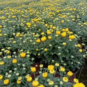 �r令花卉菊花  14公分杯苗���c菊  ���c菊出售