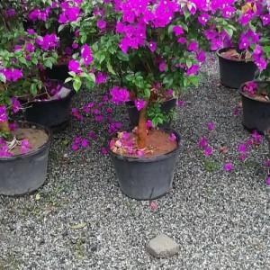 成都�G植花卉  三角梅出售  做���h�G植花卉