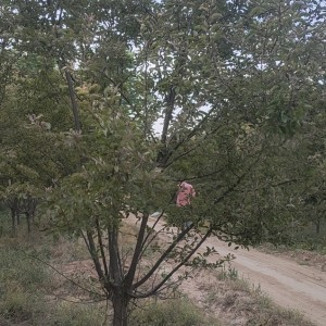 清苑区垂丝海棠树苗厂家供应 8公分庭院花卉北美海棠少泽苗木