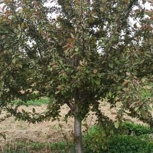 河北省北美海棠花苗厂家供应 出售庭院花卉北美海棠嫁接苗木