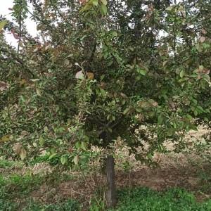 保定市庭院花卉北美海棠厂家供应 8公分北美海棠花苗少泽苗木