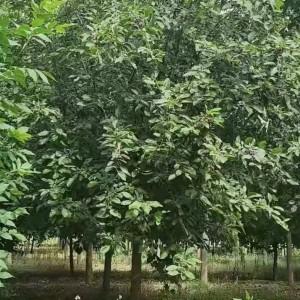 徐水区庭院花卉北美海棠厂家供应 5公分垂丝海棠树苗欢迎采购