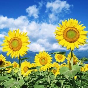 南宁景龙生态大量向日葵等花卉种子批发