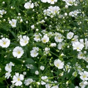 圆锥石头花花卉种子 大量批发种子满天星花卉种子