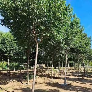 宁夏杜仲苗今年市场收购价 七公分杜仲树苗绿植培育花卉公司