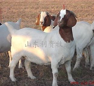 波尔山羊养殖小尾寒羊饲养条件供应商 山东利贵牧业