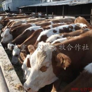 ,肉羊,驴驹,波尔山羊,鲁西黄牛等供应商 山东重山农业畜牧合作