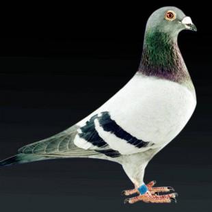 肉鸽,银王鸽,雨点肉鸽供应商 山东省水浒养殖公司图片