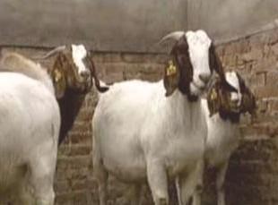 2011山羊价格致富经最新波尔山羊价格兴邦繁育基地供应商 山东兴邦