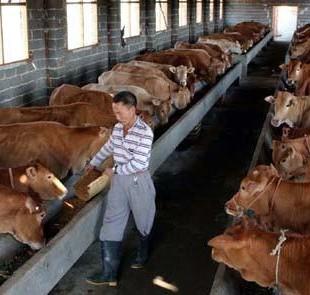 海福特牛养殖供应商 山东长隆牧业