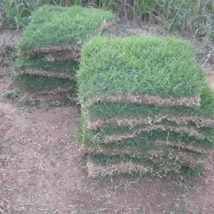 海南大叶油草皮供应商 海南绿化质量草坪供应基地