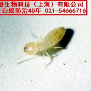 灭白蚁中心 白蚁危害 白蚁对人的危害图片