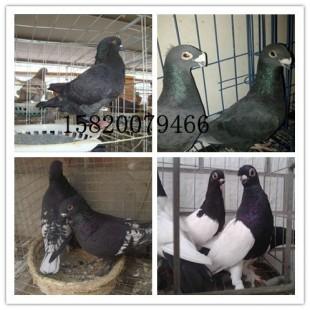 南毛领鸽价格,雨点鸽,插花翅鸽图片,头型鸽黄杠价格图片