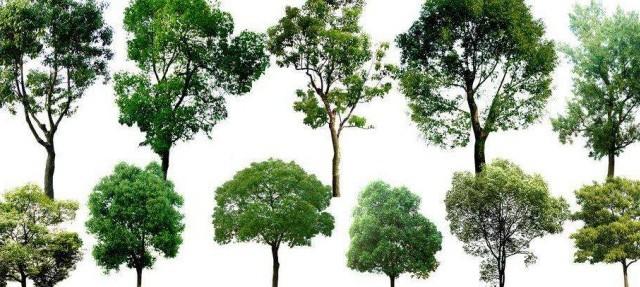 黑龙江哈尔滨江北针叶树种沙地柏、偃柏
