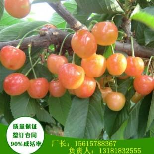 矮化大紫樱桃苗一亩地产多少斤