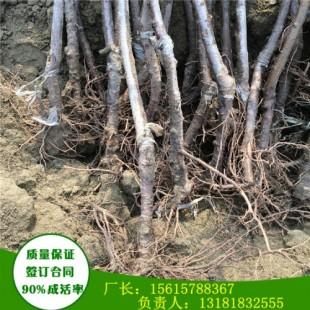 矮化俄8樱桃苗一亩地栽多少棵