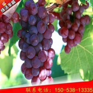 优艳峰葡萄桃树苗价格