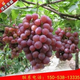 优选巨峰葡萄桃树苗价格