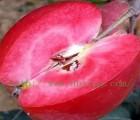 桃树苗种植|红肉苹果批发|家家苗木供