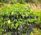 南宁种印度紫檀 到南宁央大农林科技有限公司买苗