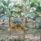 银杏树苗多少钱一棵,银杏树一棵多少钱