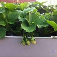绿色环保草莓槽