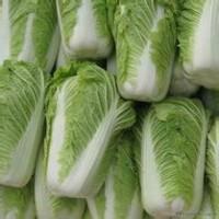 山东春季大白菜供应价格产地面向全国批发销售
