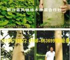 楠白木(印尼速生白木楠)高山种植组培苗