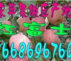 山东苹果批发价持续触底红富士苹果行情走势
