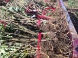 供应优质食用玫瑰苗平阴一号 一年生大苗高60-100公分