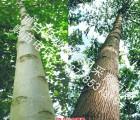 供应印尼白木楠(楠白木)组培苗