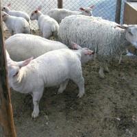 肉羊预混料