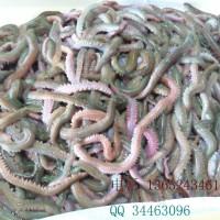 母虾育苗,饲料虫,母鱼喂养,青虫