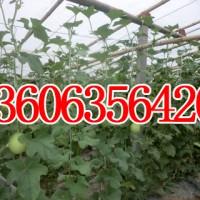 出售代购各种绿白皮甜瓜密宝王13346257168图片