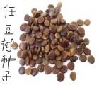 供应新产任豆树种子 林业部门任豆树苗 林场任豆树种苗