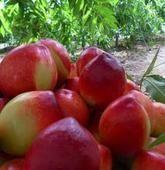 陕西油桃价格