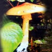 北京野生鸡油菌功效与作用 松露 黑虎掌菌等一斤也批发