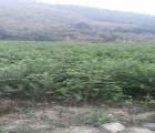 浙江红豆杉树苗|大量供应价位合